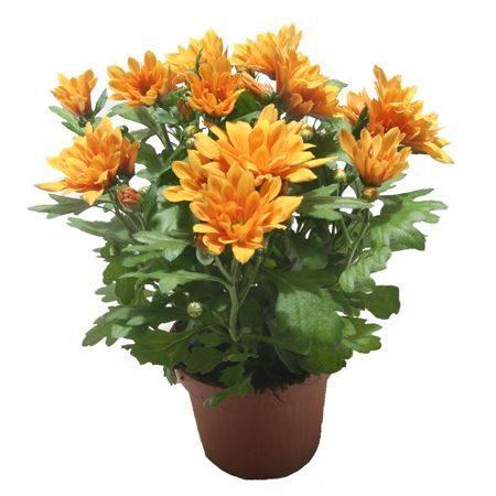 chryzantéma mini
