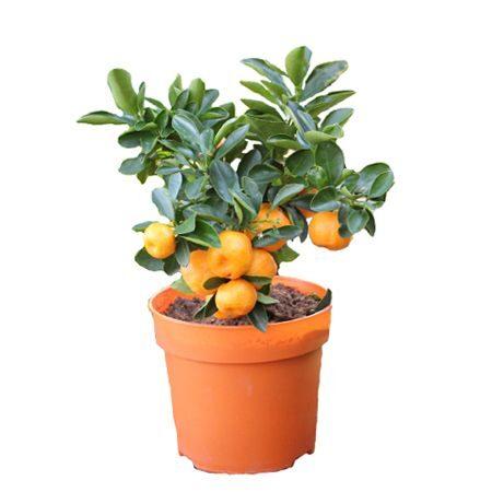 Mandarinkovník prodej